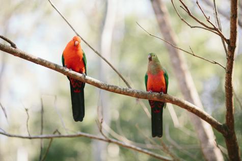Visiting king parrot pair - Bluegums Cabins